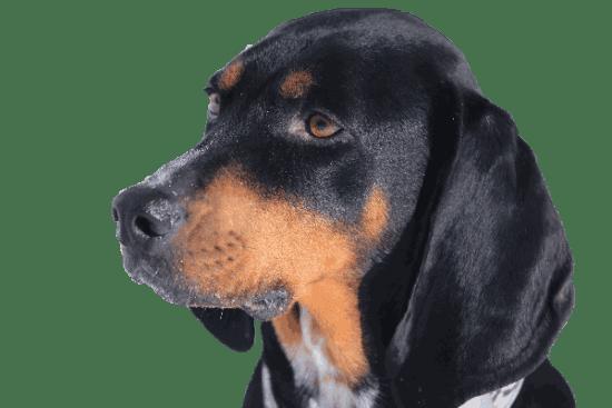 Black N Tan Coonhound